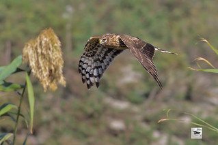 Hen Harrier f_w_4165_(Circus cyaneus)