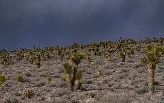 Joshua Trees, Death Valley