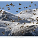 Black-winged Snowfinch by T@hir'S Photography
