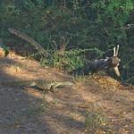 Monitor Lizard - Kenya