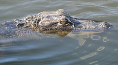 alligator - Viera Wetlands - Melbourne Florida