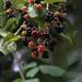 Cranberries التوت البري
