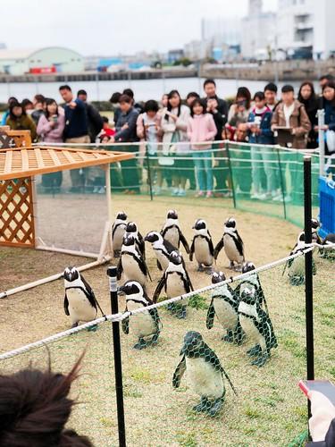 企鵝逛大街