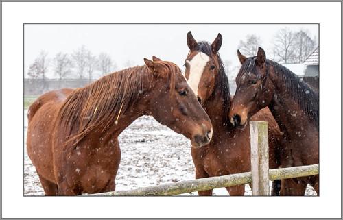 Pferde im Winter  (Horses in winter)