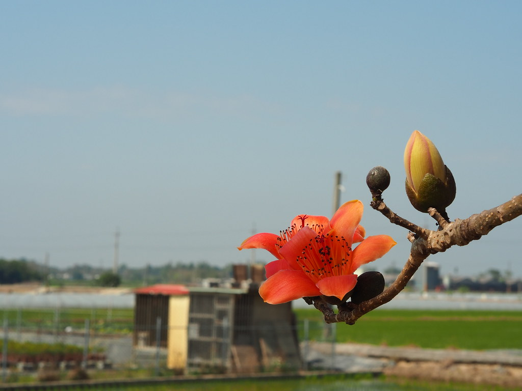 白河木棉花季 (5)