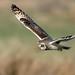 Short-eared Owl by NickWakeling