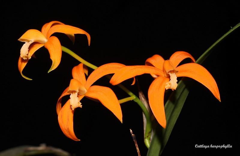 Cattleya harpophylla 33322780948_9a1bf0cc45_c