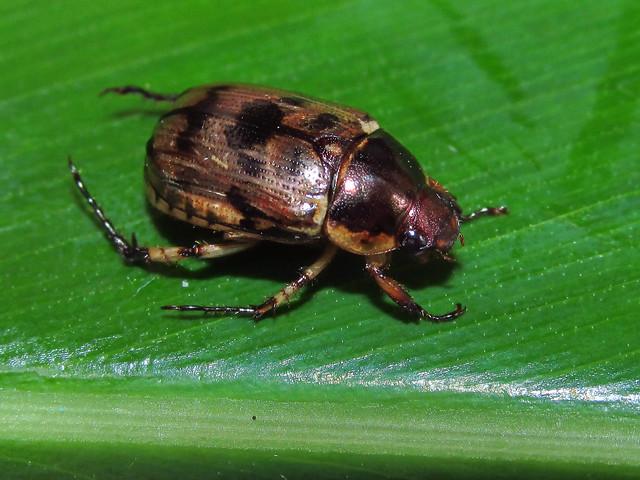 Anomala undulata (Coleoptera: Melolonthidae: Rutelinae)