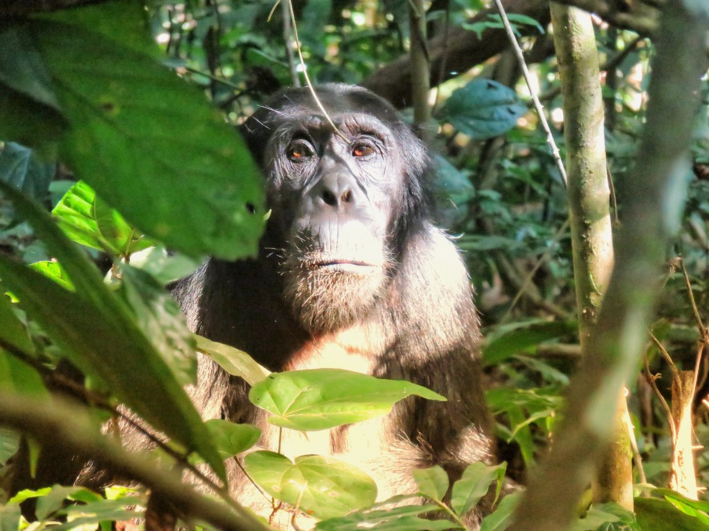 Chimp, Kaniyo Pabidi, Budongo Forest, Uganda