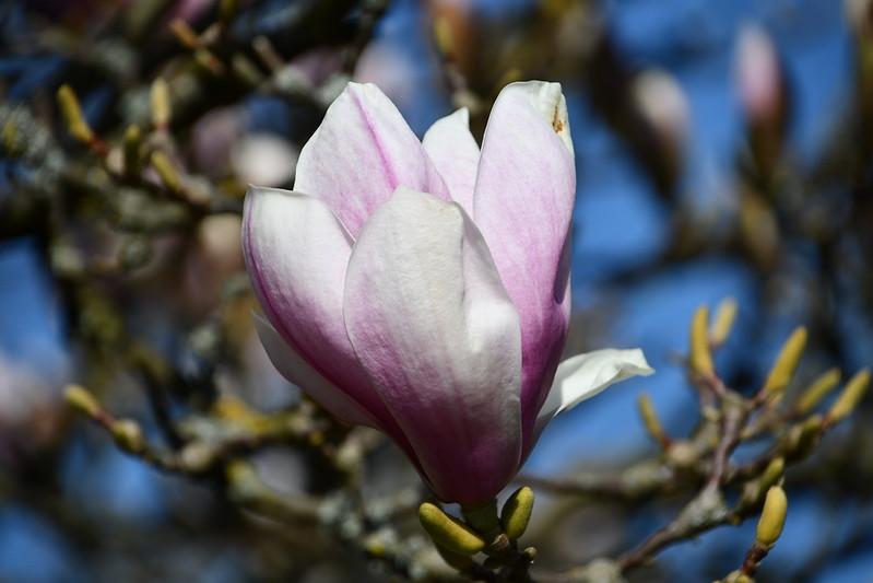 Magnolia 30.03 (4)