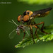 Robber Fly Eating 4 by strjustin