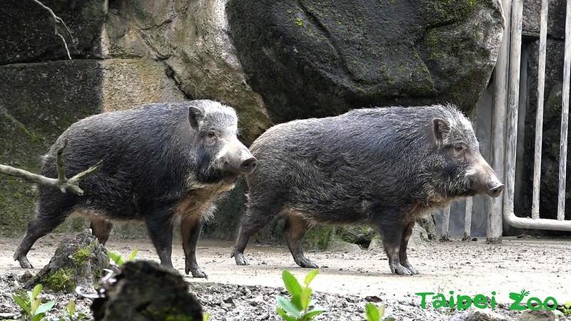 台灣動物區的台灣野豬「山茶」、「山櫻」。