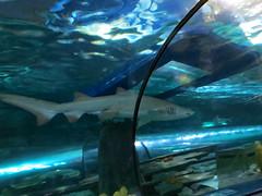 Shark Swims Under The Boat.