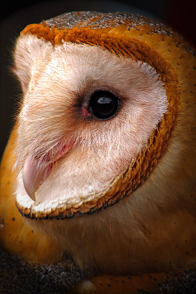 2019.02.16 Pints and Predators Barn Owl 8
