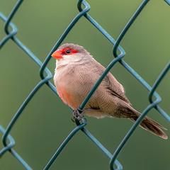 Aves De Brasil
