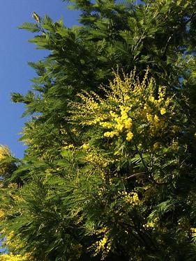 Spring mimosa ~ Explored