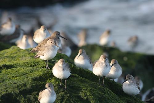 Lovely Flock of Dunlin
