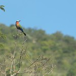 Red Throated Bee Eater – South Africa