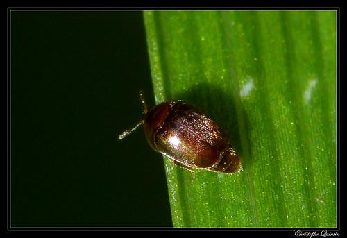 Corylophidae/Corylophinae