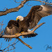 WAS_9778 Bald Eagle