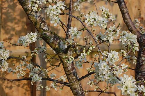 Prunus domestica 'Herman' Blossom