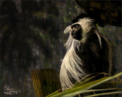 Image of a Guereza Colobus Monkey at the Jacksonville Zoo