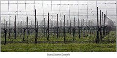 Beauregard Vinyard, Bonny Doon, California in an early March mist.