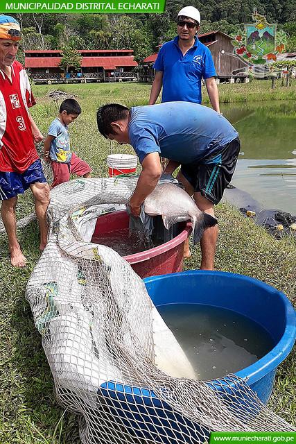 Con éxito se logró la primera reproducción de peces amazónicos del año en Malanquiato