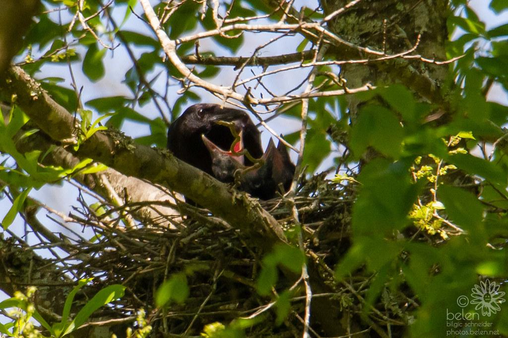 NOLA Crow Nest 2019