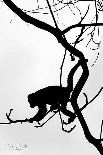 Un singe dans un arbre généalogique/A monkey in a family tree/En apa i en släkträd/Un mono en un arbol genealógico