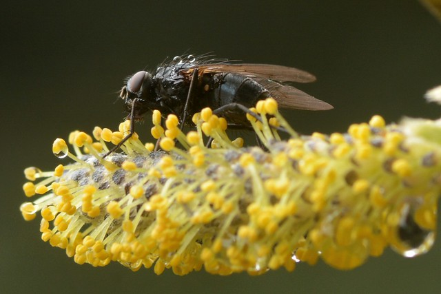 Just a fly on a catkin of Arroyo Willow