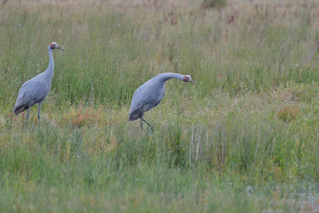 Brolga ( ready set )