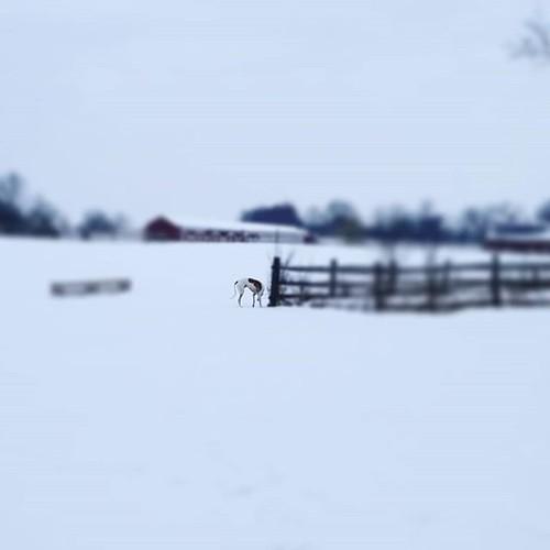 Sniffing #Cane #dogsofinstagram #greyhound #greyhoundsofinstagram #KnoxFarm #eastaurora #wny #winter