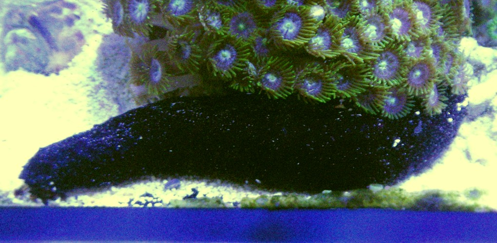 Holothuria leucospilota 33545878398_c0e19d0ba8_o
