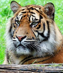 tiger_15110329927_o