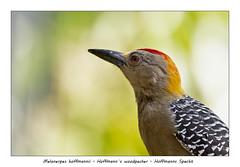 Hoffmanns woodpecker