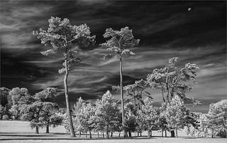 {Fir Trees at Waddesdon}FCC170 | by framcameraclub