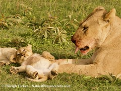 Lion cub playing with mom