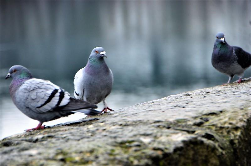 Pigeons 12.01 (2)