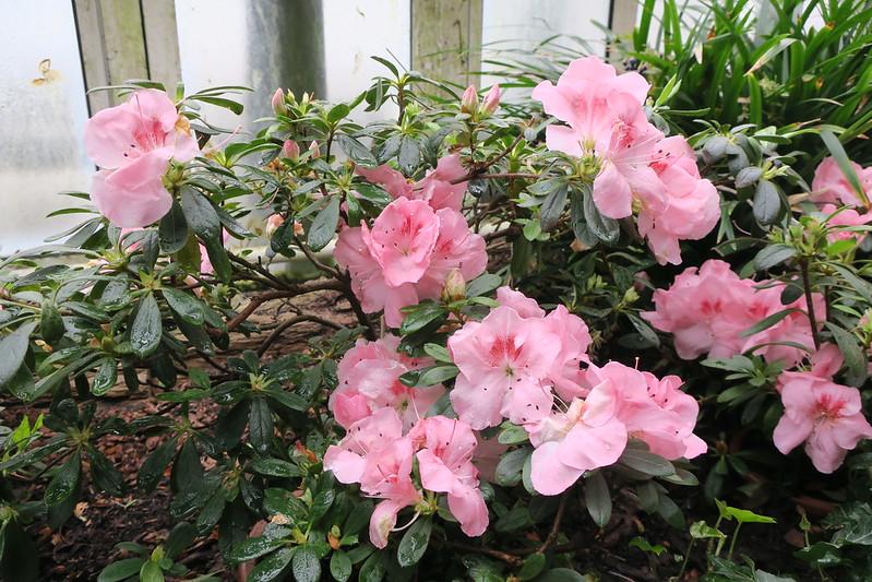 "Rhododendron simsii ""Rosifolium"""