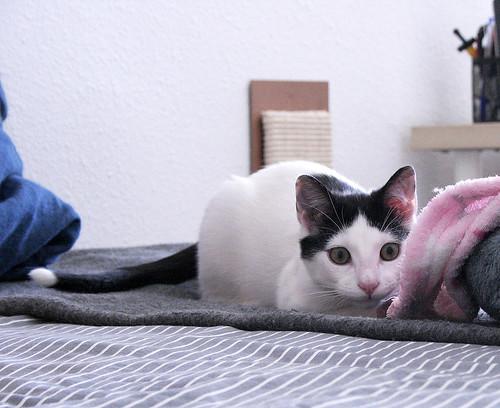 Morad, gatito blanco con toques negros muy juguetón nacido en Octubre´18, en adopción. Valencia. 46260846834_97628e4a6a