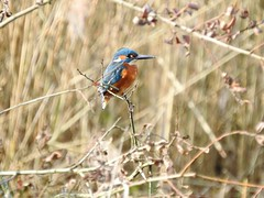 Kingfisher DSCN4805