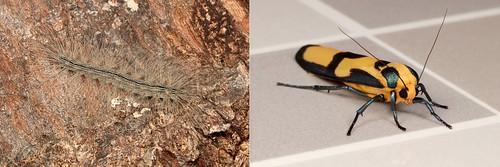 METAMORPHOSIS - Footman Moth (Chrysaeglia magnifica, Lithosiini, Arctiinae, Erebidae)