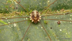 Harvestman, Opiliones