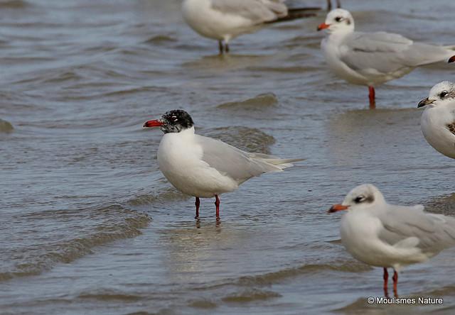 0S8A3747X. Mediterranean Gull | Larus melanocephalus | Ad-summer