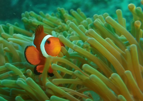Ocellaris Anemonefish