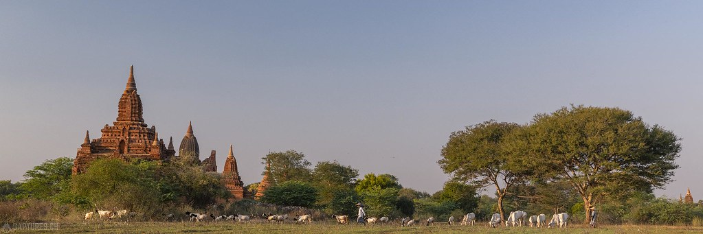 Cow cattle in the evening sun - Bagan