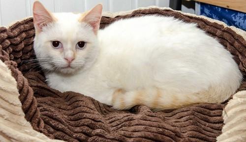 Corinto, gatito siamés Red Point muy guapo, esterilizado tímido y bueno nacido en Octubre´18, en adopción. Valencia. 47150223881_d496fbe006