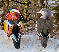 Mr & Mrs Mandarin Duck