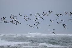 black skimmers birding Mason inlet NC 11.17DSC_0144